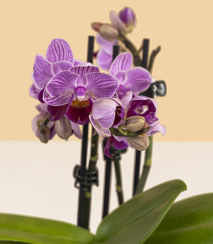 орхидея микро фаленопсис купить