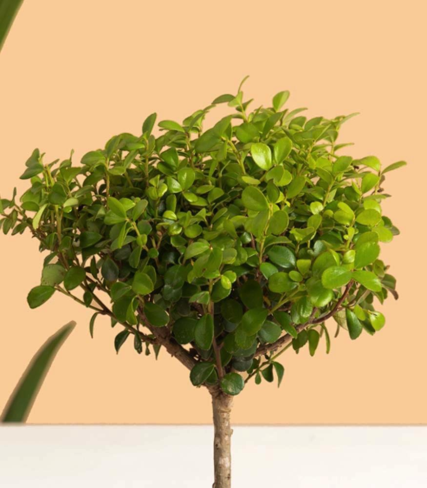 Купить дерево мирт с доставкой