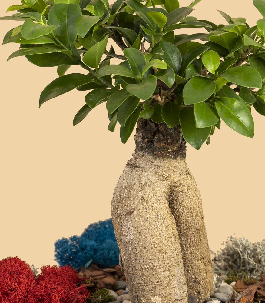 Купить бонсай микрокарпа гинсенг в флорариуме или горшке недорого