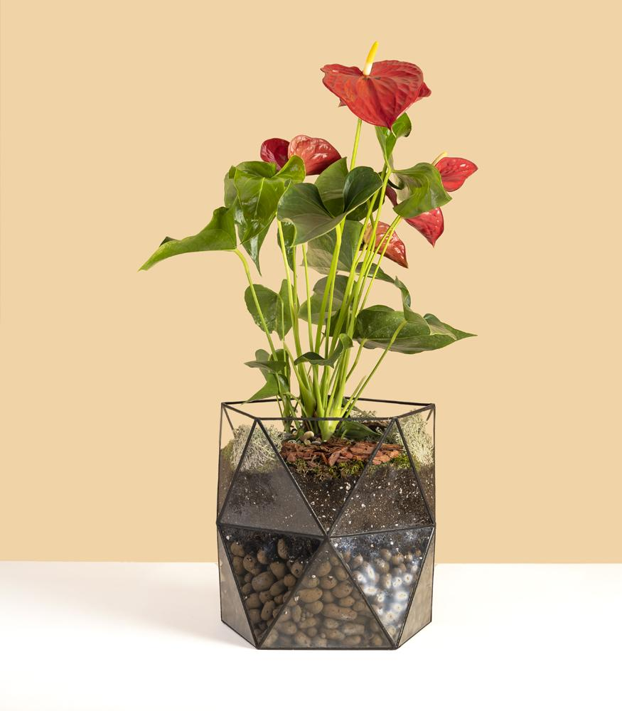 флорариум кашпо с антуриум ред