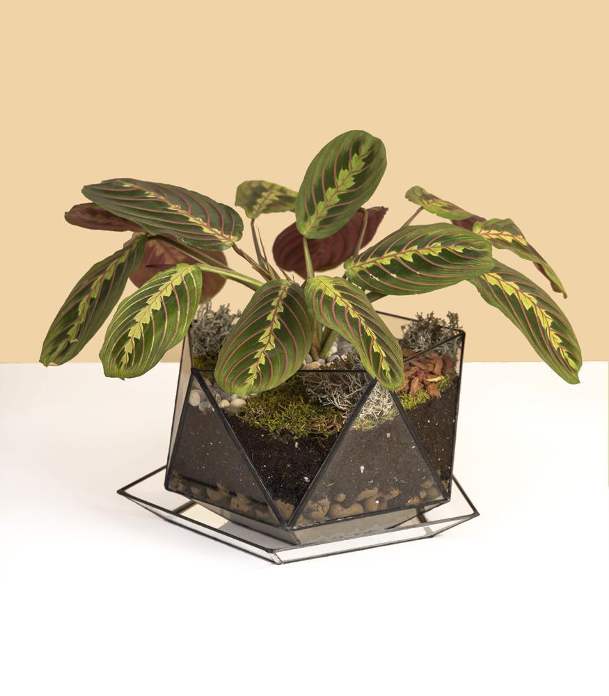 купить неприхотливое растение маранту в горшке из стекла