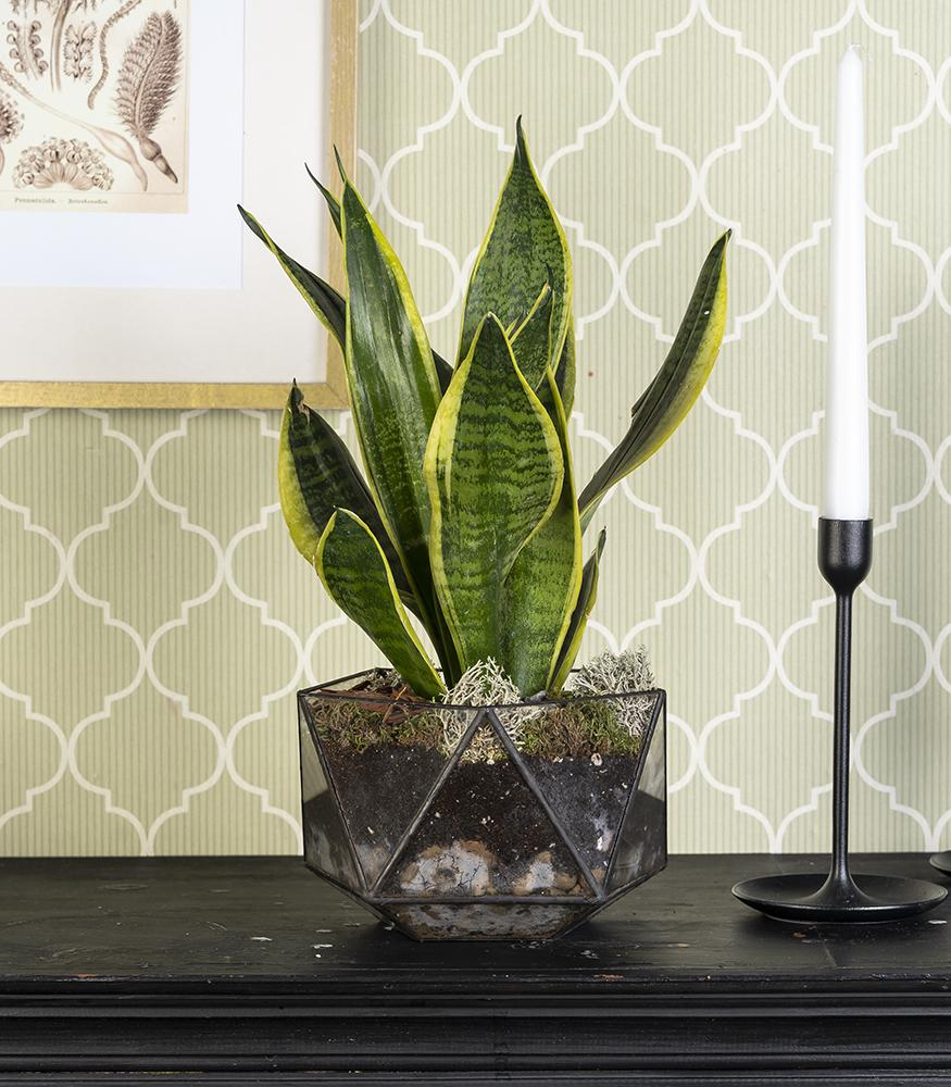 Купить комнатное растение тещин язык