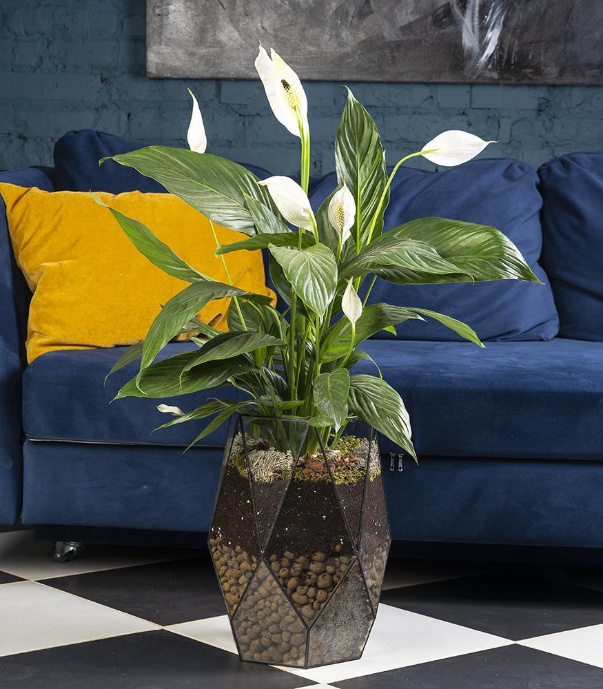 Растение Спатифиллум в флорариуме купить