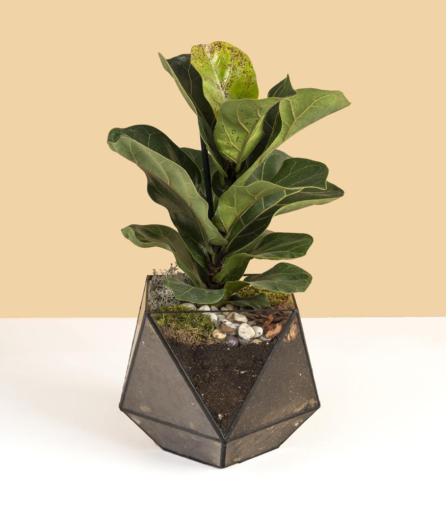 флорариум кубок с фикус лирата