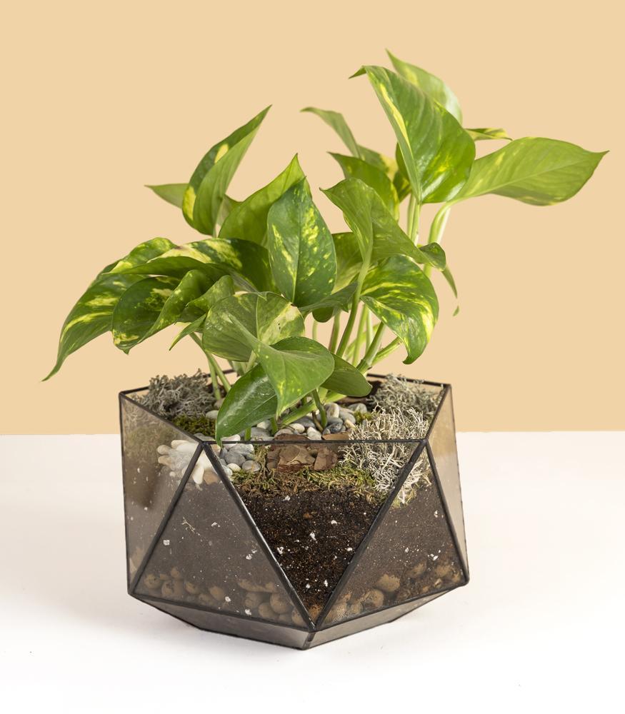 растение эпипремнум купить в кашпо