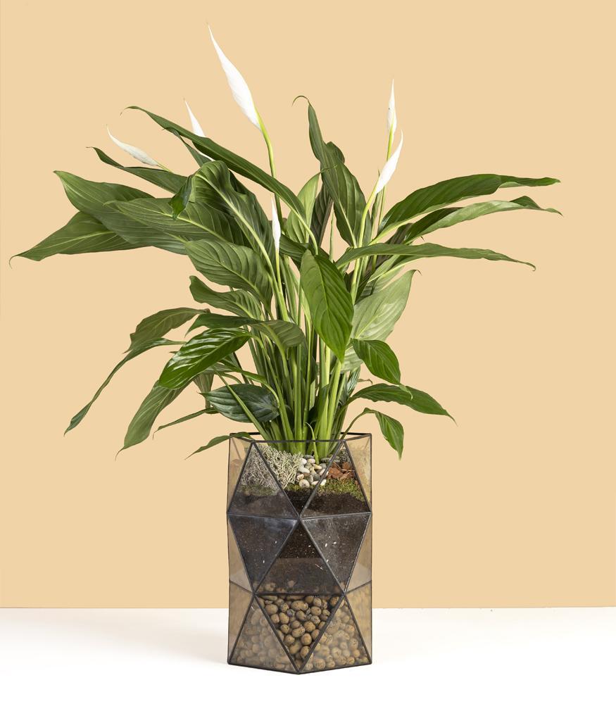 растение цветущее растение спатифиллум в кашпо