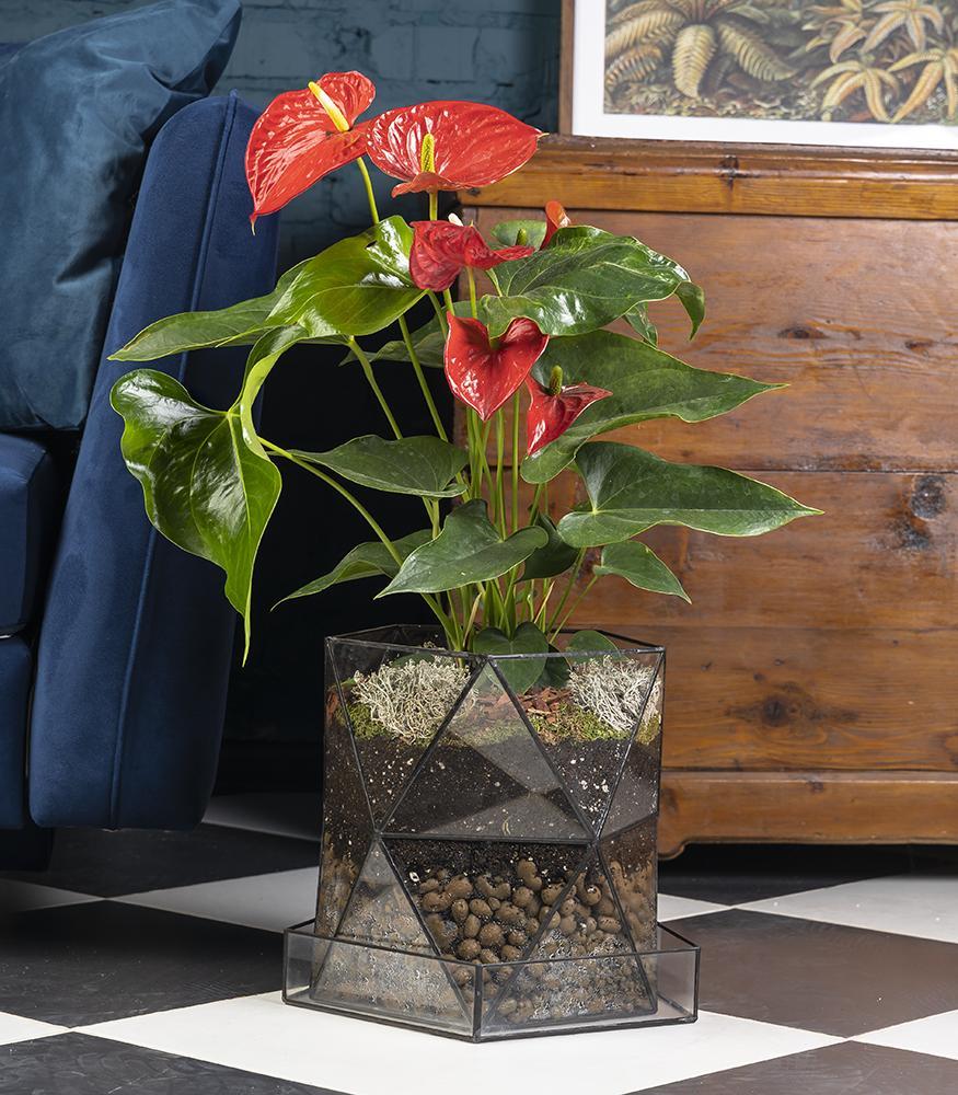 Купить цветущее растение антуриум в горшке из стекла недорого