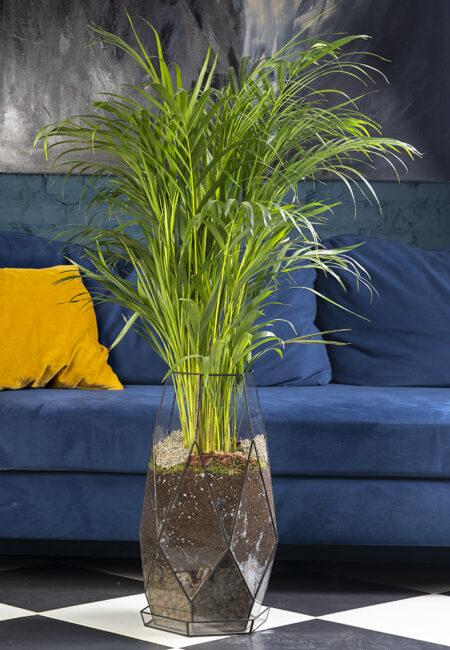 Пальма Дипсис в флорариуме