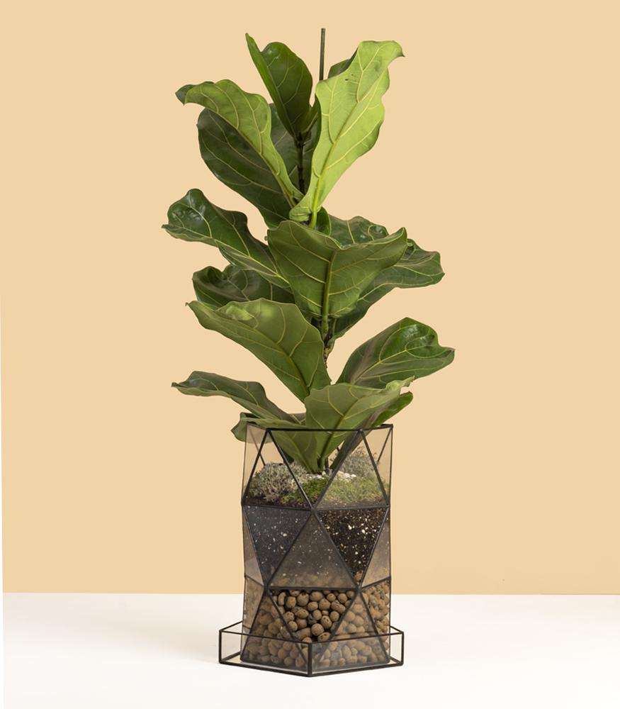 Купить растение лирата, фикус комнатный с доставкой