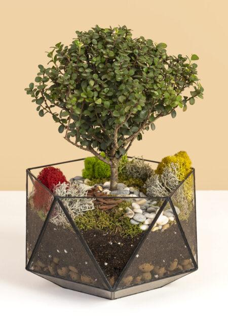 Мирсина в кашпо купить дерево мирт живое