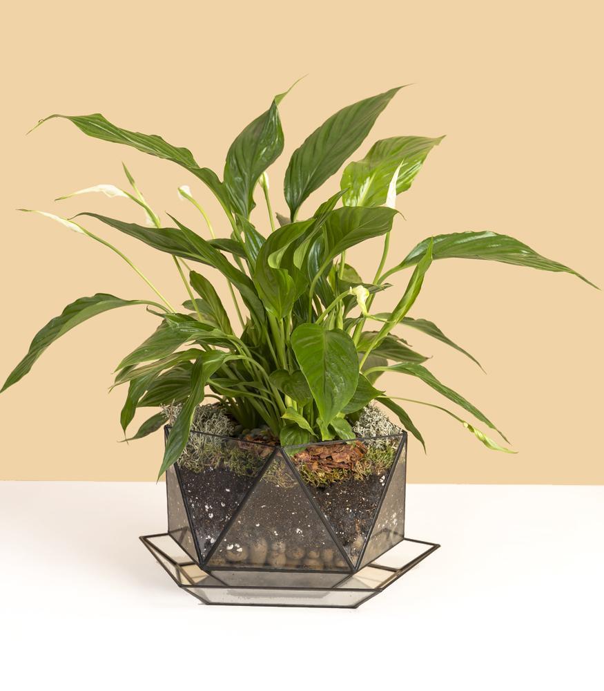 Купить цветок спатифиллум в кашпо с доставкой