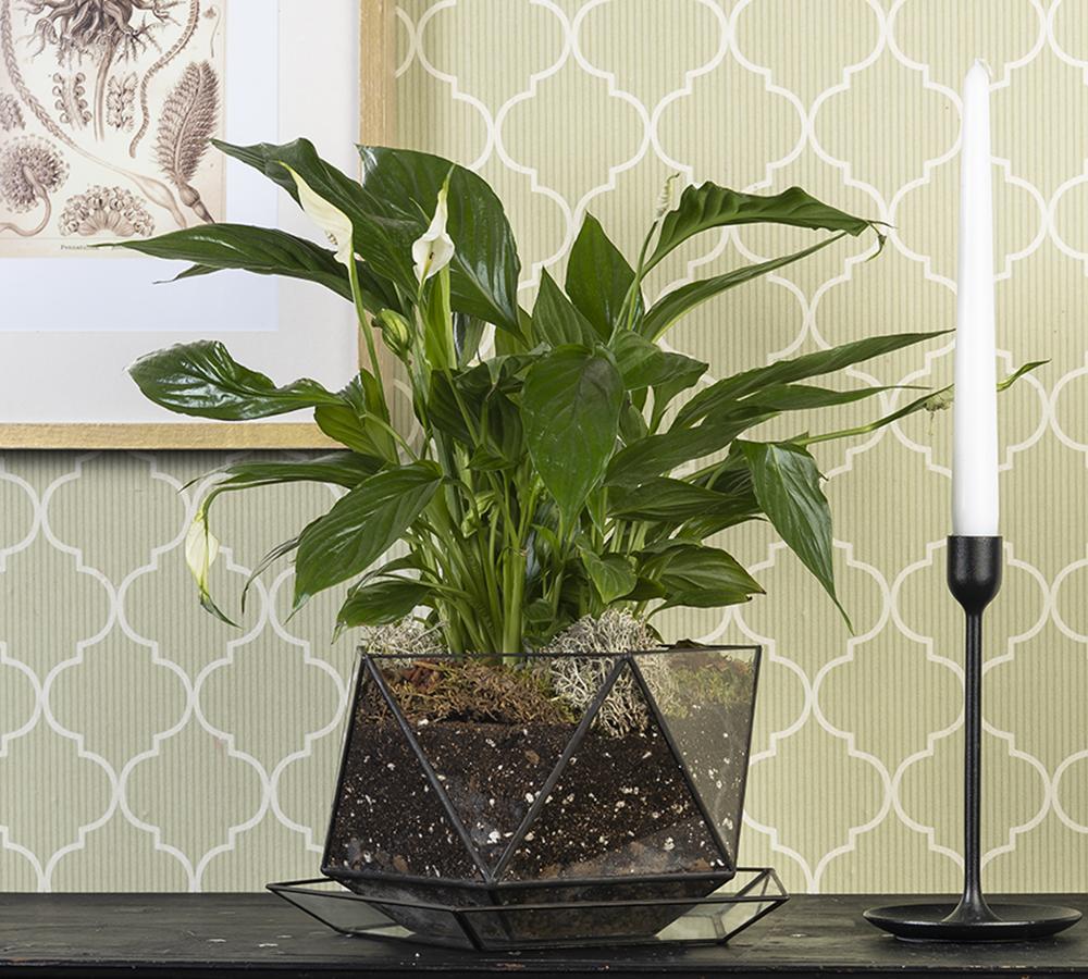 Купить цветущий спатифиллум в горшке с поддоном недорого