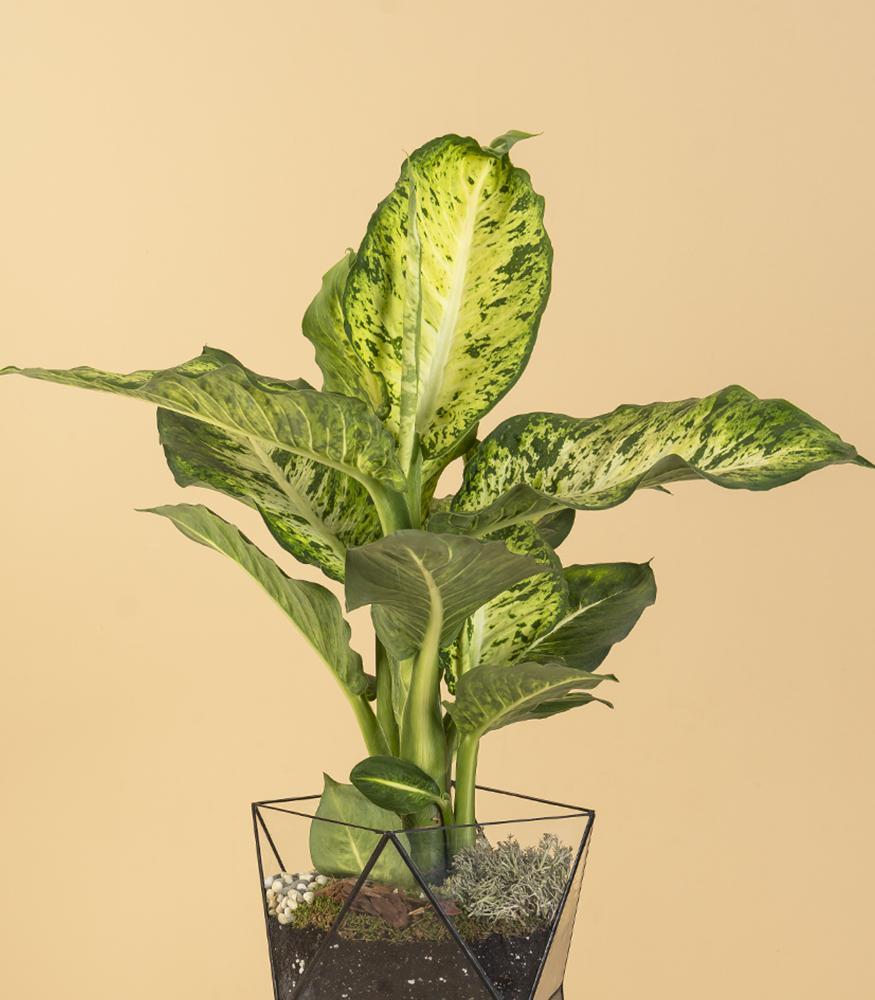 растение диффенбахия в горшке купить