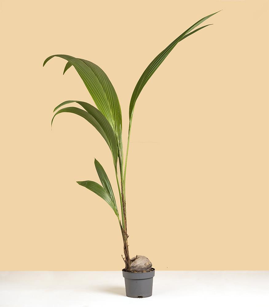 Растение кокос купить в интернет-магазине