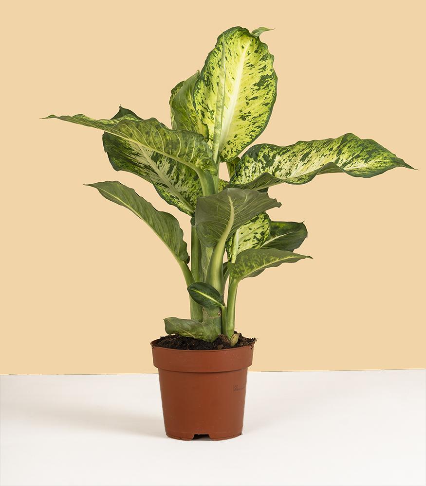 Растение Диффенбахия для офиса купить