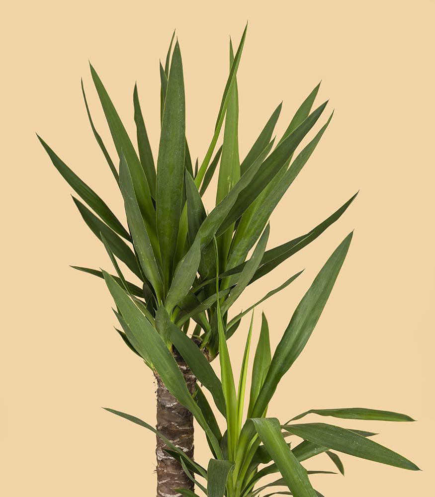 Купить пальму юкку в горшке недорого