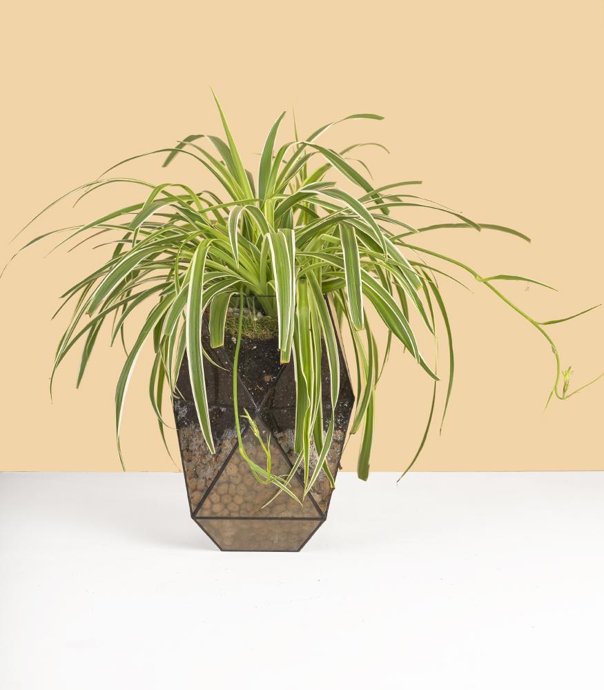 Купить неприхотливое растение для офиса хлорофитум в горшке