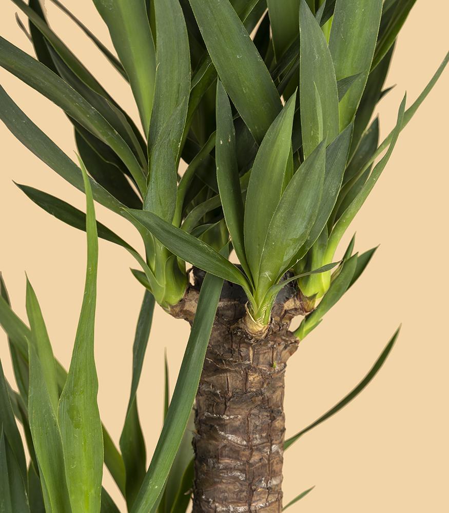пальма юкка заказать