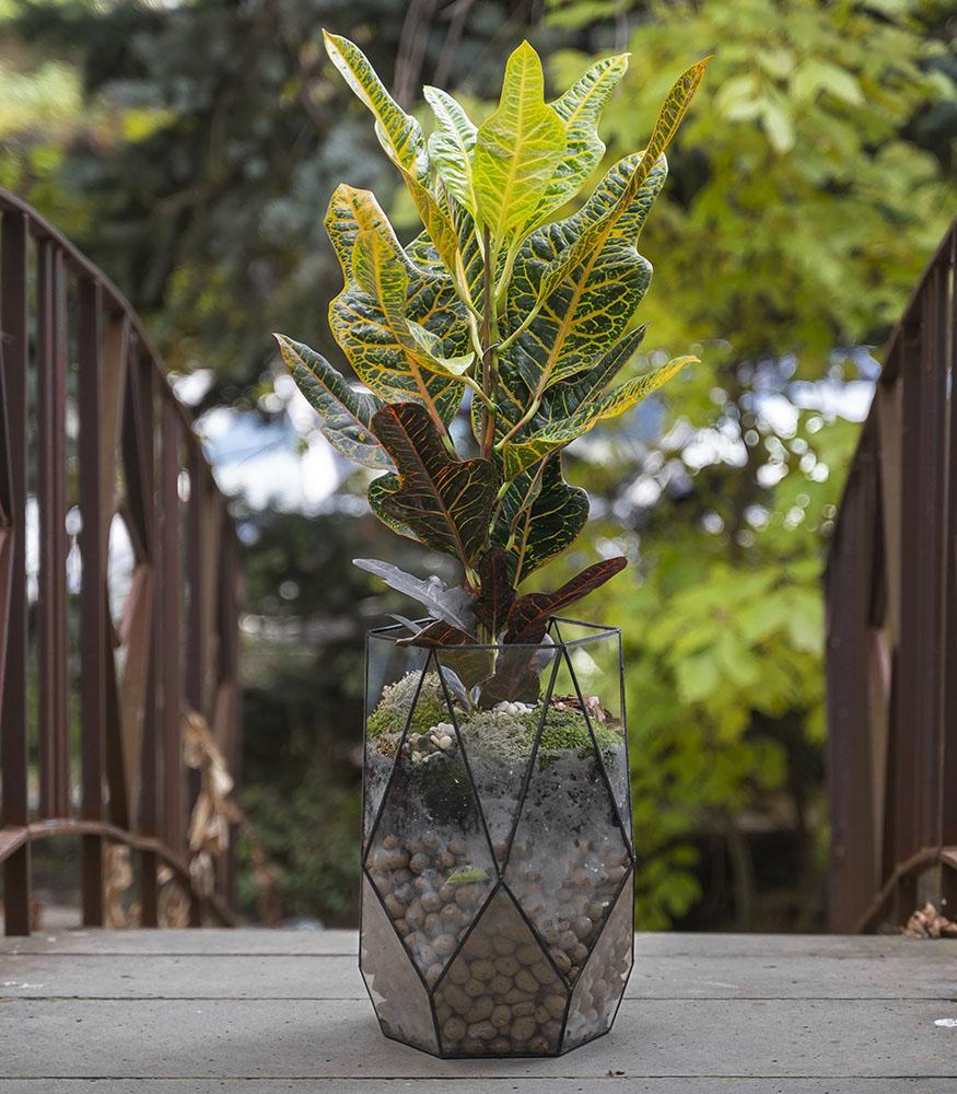 Растение Кодиеум купить в горшке с доставкой недорого