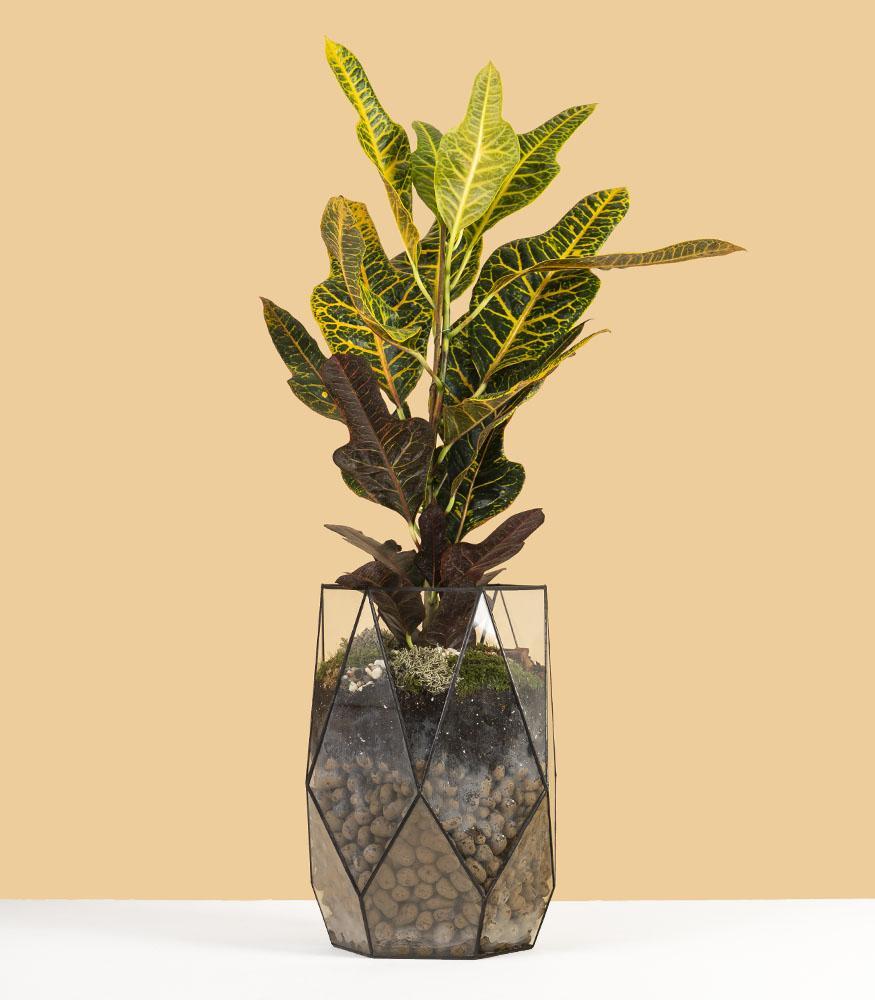 Цветок кодиеум экселент купить в горшке с доставкой